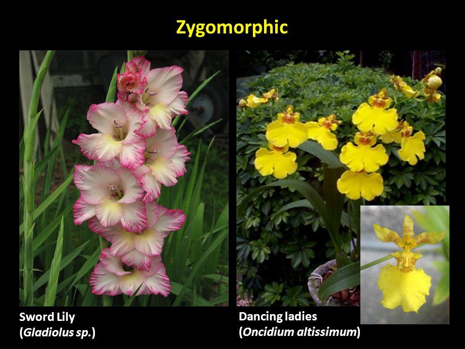Dancing ladies (Oncidium altissimum) Sword Lily (Gladiolus sp.) Zygomorphic