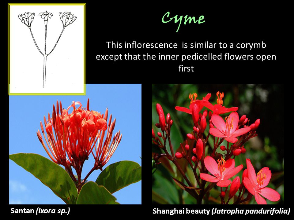 Cyme This inflorescence is similar to a corymb except that the inner    Cyme Inflorescence