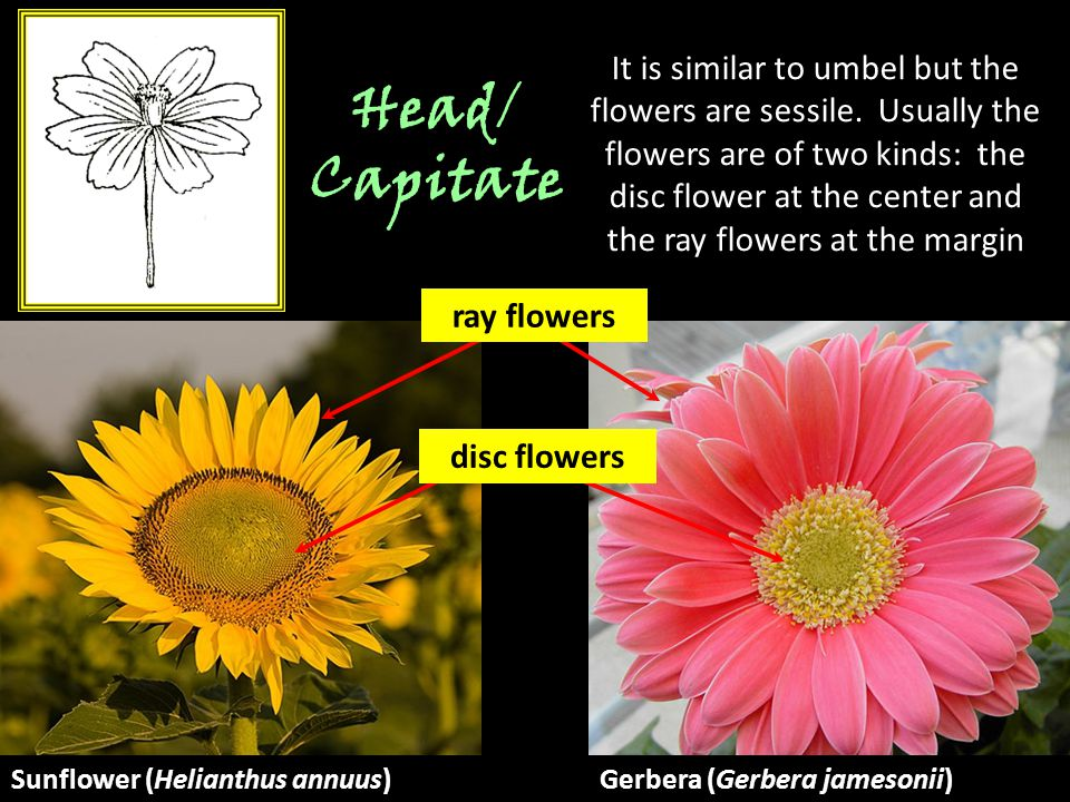 Head/ Capitate It is similar to umbel but the flowers are sessile. Usually the flowers are of two kinds: the disc flower at the center and the ray flo