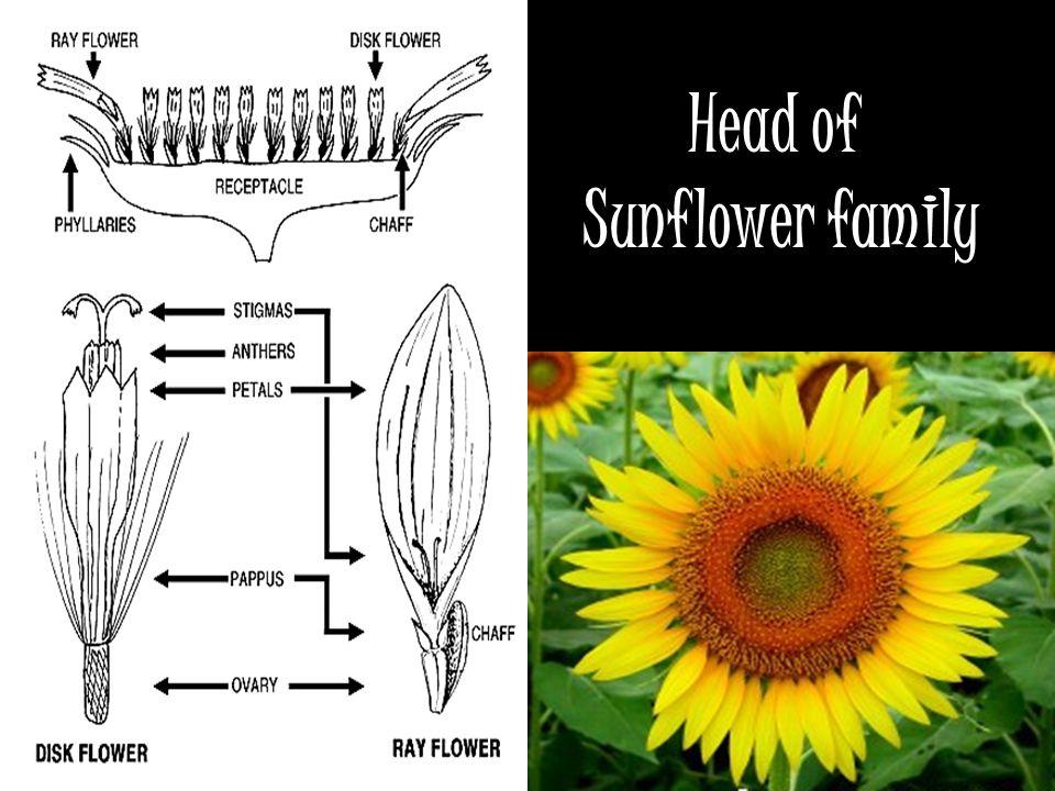 Head of Sunflower family
