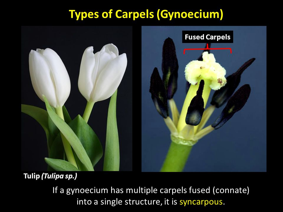 Types of Carpels (Gynoecium) If a gynoecium has multiple carpels fused (connate) into a single structure, it is syncarpous. Fused Carpels Tulip (Tulip