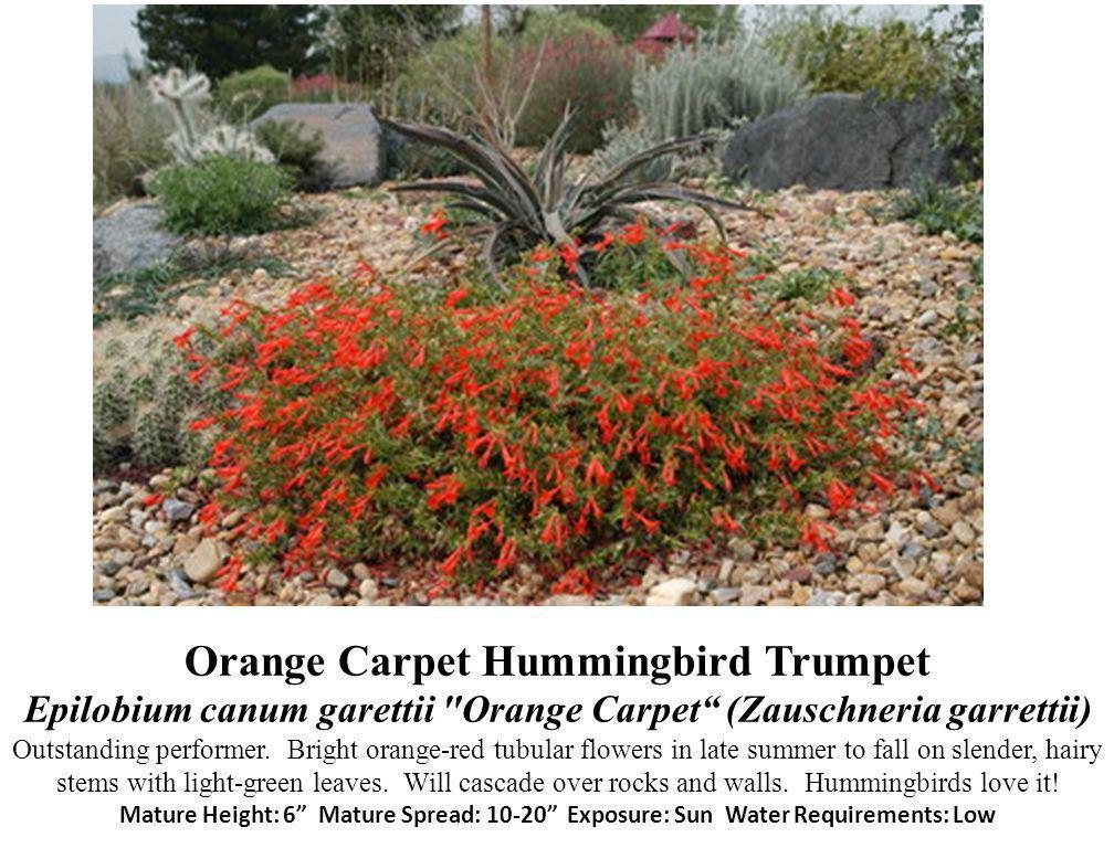 Orange Carpet Hummingbird Trumpet Epilobium canum garettii Orange Carpet (Zauschneria garrettii) Outstanding performer.