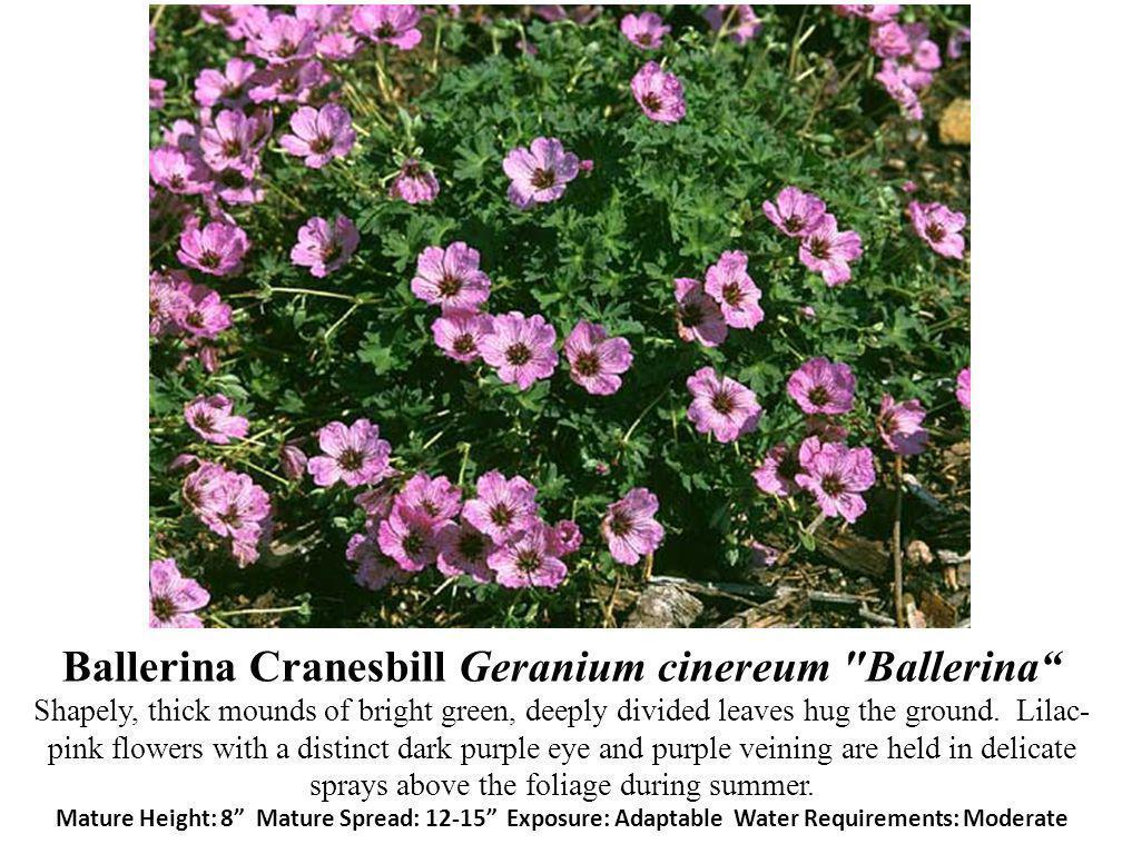Ballerina Cranesbill Geranium cinereum Ballerina Shapely, thick mounds of bright green, deeply divided leaves hug the ground.