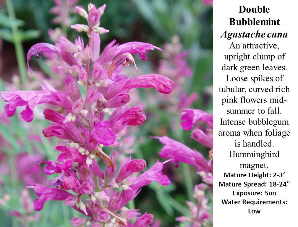 Double Bubblemint Agastache cana An attractive, upright clump of dark green leaves. Loose spikes of tubular, curved rich pink flowers mid- summer to f