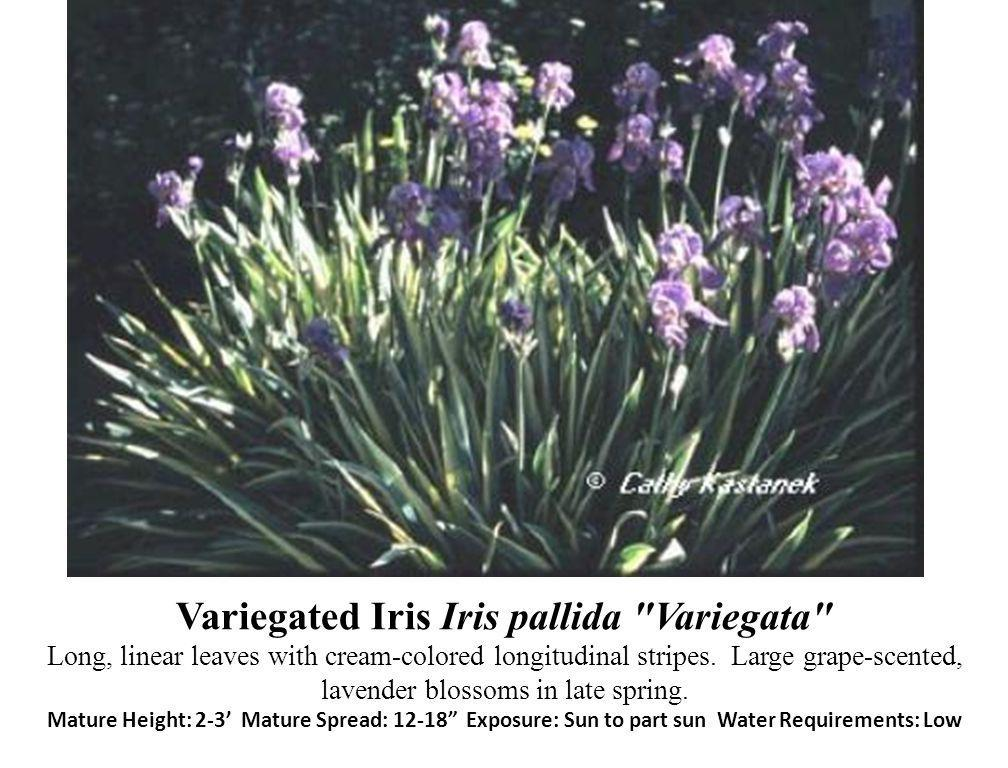 Variegated Iris Iris pallida Variegata Long, linear leaves with cream-colored longitudinal stripes.