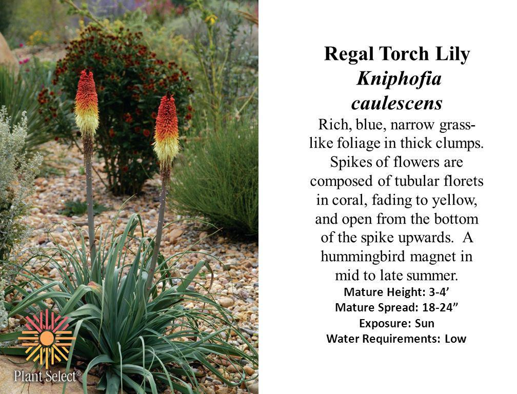 Regal Torch Lily Kniphofia caulescens Rich, blue, narrow grass- like foliage in thick clumps. Spikes of flowers are composed of tubular florets in cor