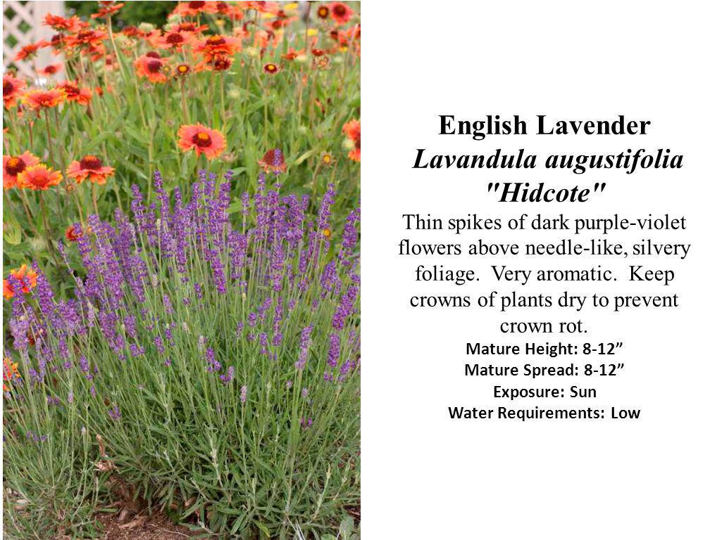 English Lavender Lavandula augustifolia Hidcote Thin spikes of dark purple-violet flowers above needle-like, silvery foliage.