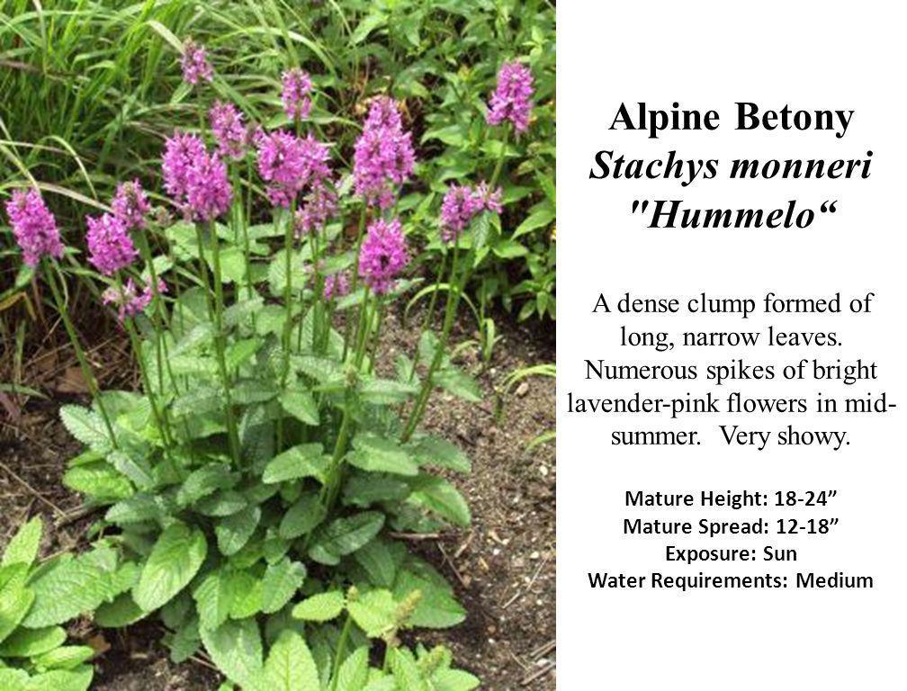 Alpine Betony Stachys monneri Hummelo A dense clump formed of long, narrow leaves.