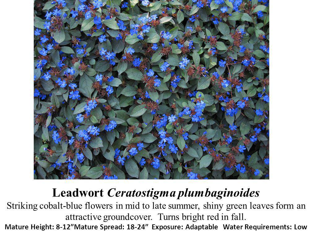 Leadwort Ceratostigma plumbaginoides Striking cobalt-blue flowers in mid to late summer, shiny green leaves form an attractive groundcover. Turns brig