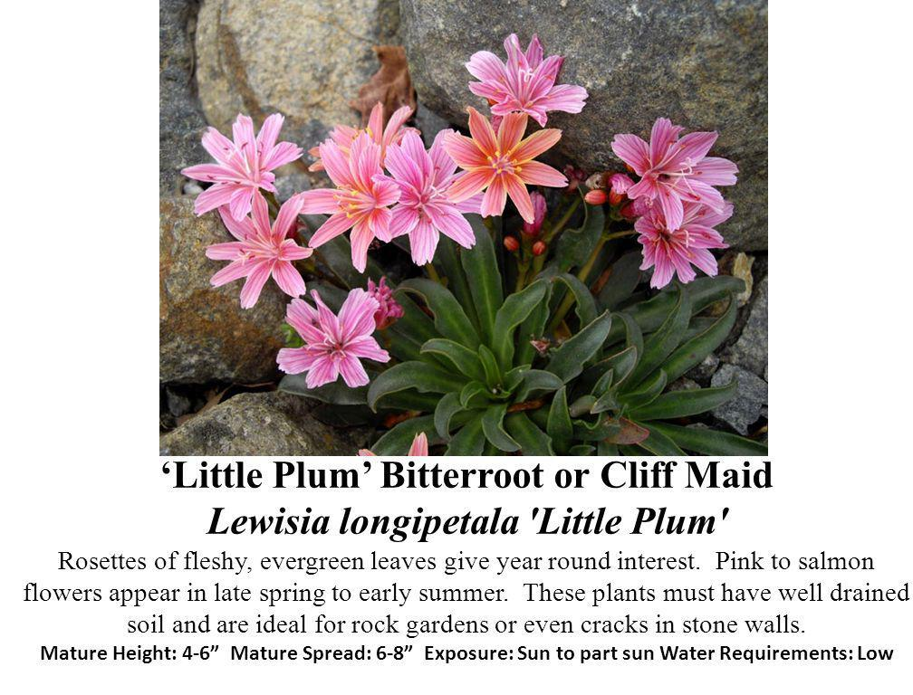 Little Plum Bitterroot or Cliff Maid Lewisia longipetala 'Little Plum' Rosettes of fleshy, evergreen leaves give year round interest. Pink to salmon f