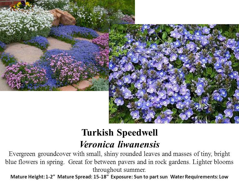 Turkish Speedwell Veronica liwanensis Evergreen groundcover with small, shiny rounded leaves and masses of tiny, bright blue flowers in spring. Great