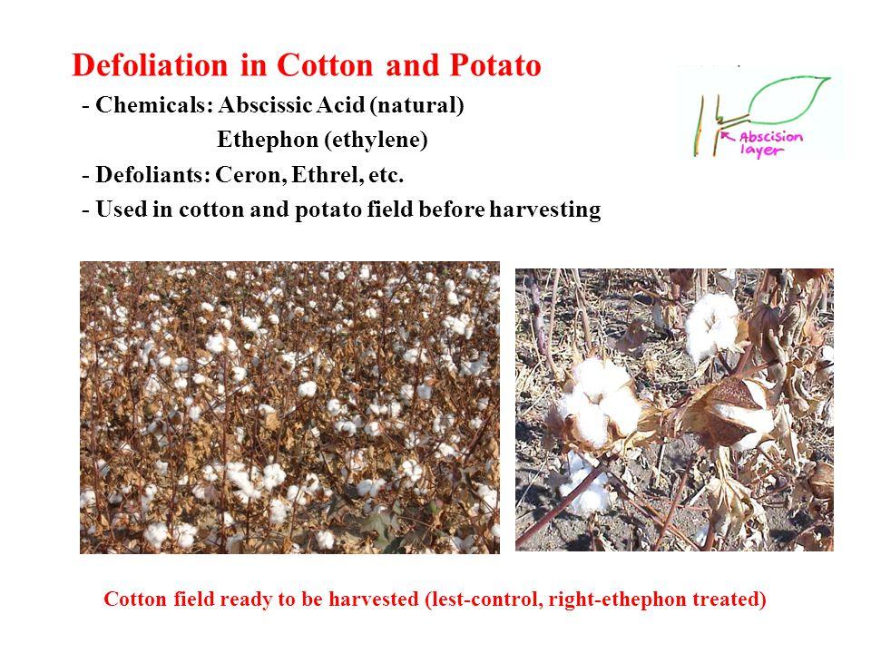 Defoliation in Cotton and Potato - Chemicals: Abscissic Acid (natural) Ethephon (ethylene) - Defoliants: Ceron, Ethrel, etc.