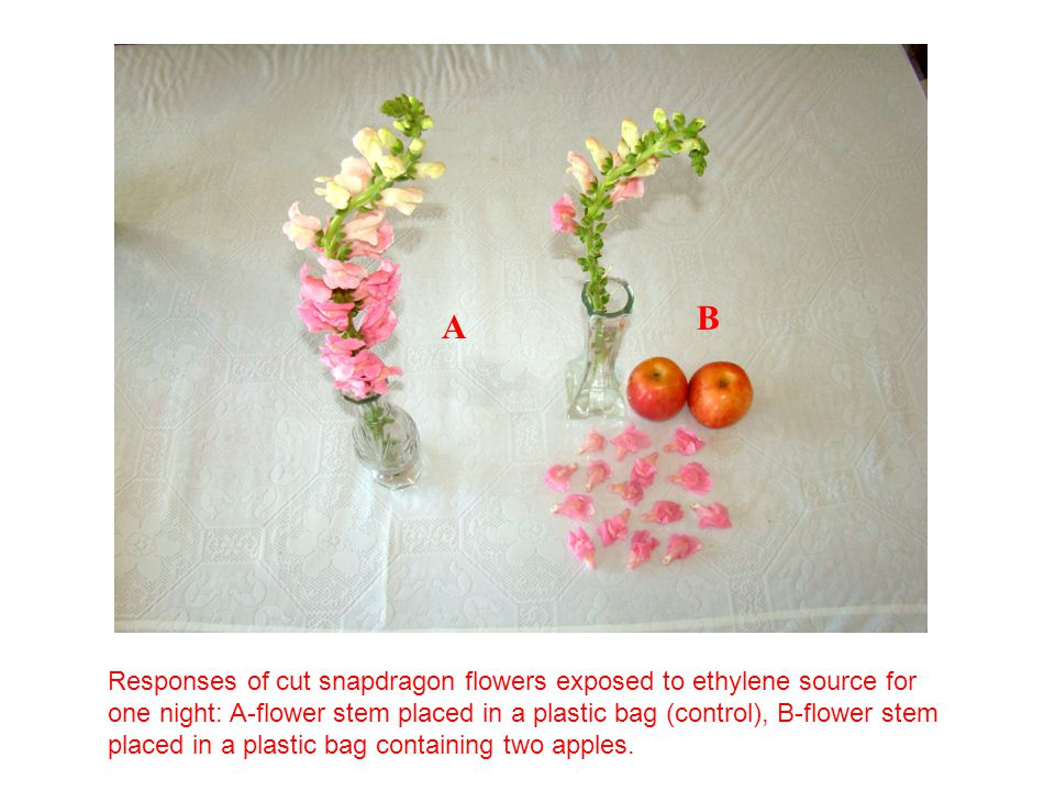 A B Responses of cut snapdragon flowers exposed to ethylene source for one night: A-flower stem placed in a plastic bag (control), B-flower stem place