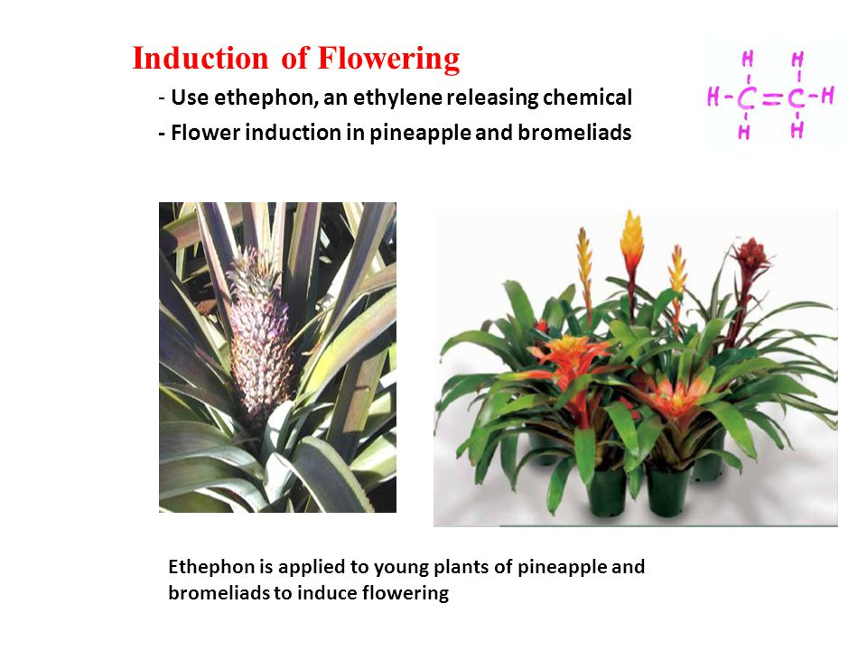 Ethephon is applied to young plants of pineapple and bromeliads to induce flowering Silver Vase Pineapple Silver Vase Induction of Flowering - Use ethephon, an ethylene releasing chemical - Flower induction in pineapple and bromeliads