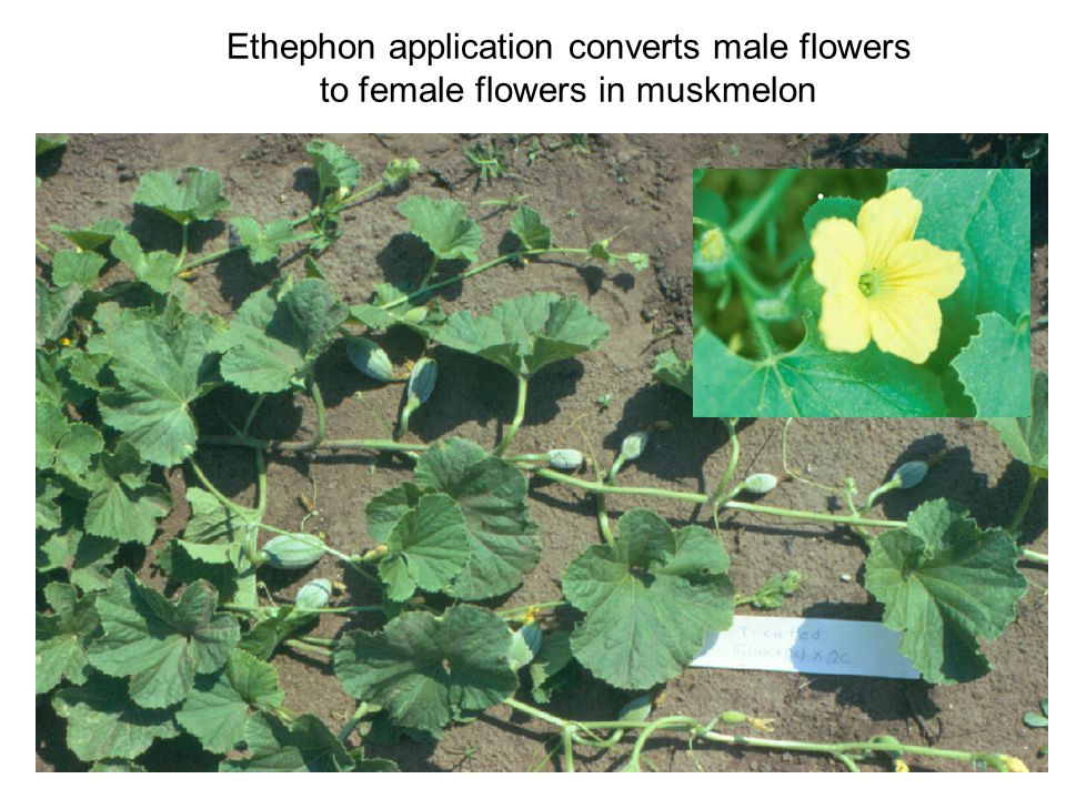 Ethephon application converts male flowers to female flowers in muskmelon