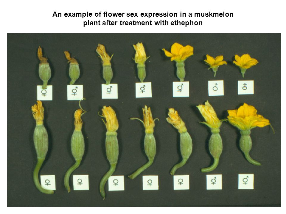 An example of flower sex expression in a muskmelon plant after treatment with ethephon