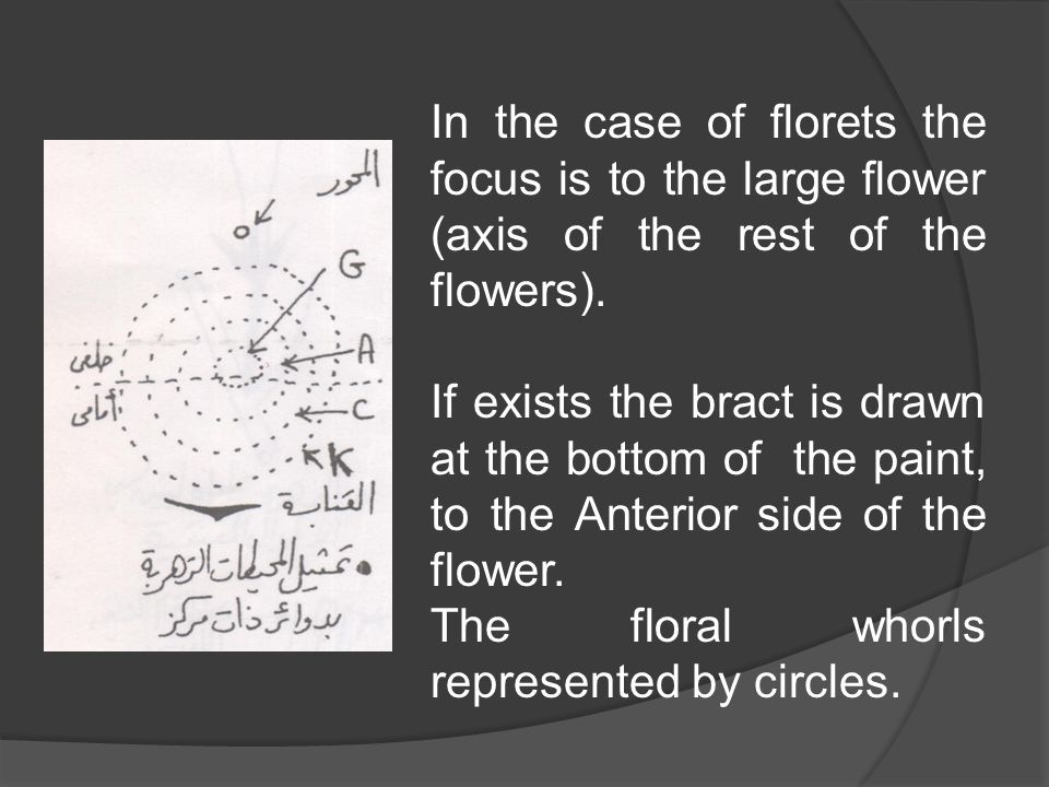 In the case of florets the focus is to the large flower (axis of the rest of the flowers). If exists the bract is drawn at the bottom of the paint, to