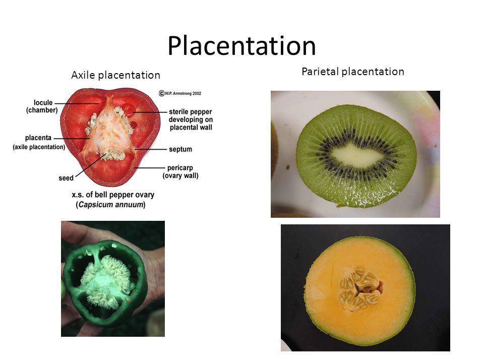 Placentation Axile placentation Parietal placentation