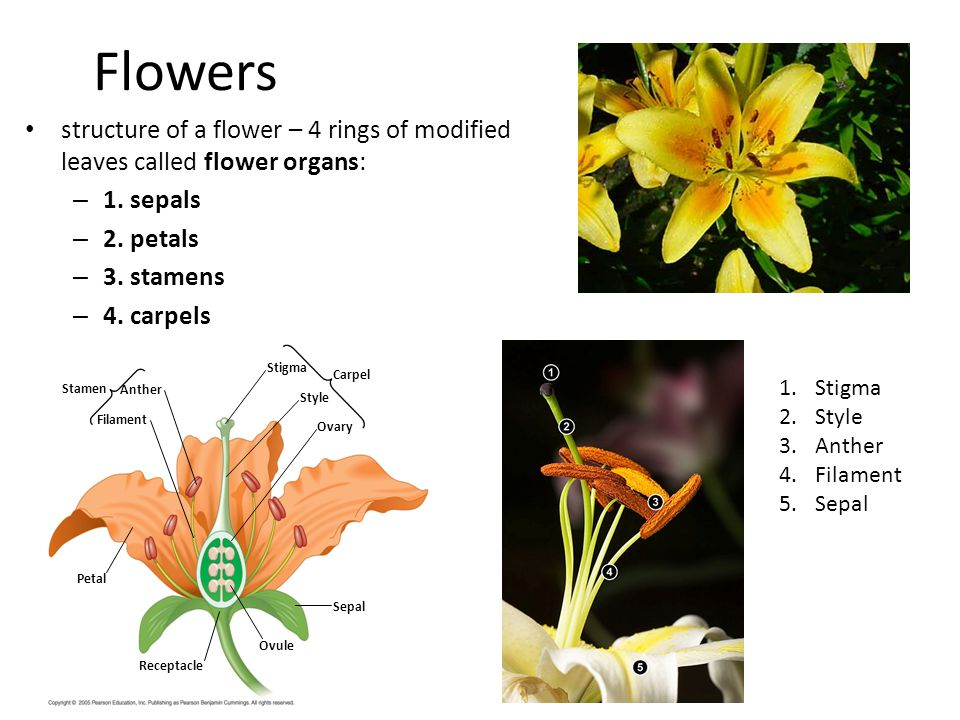 Flowers structure of a flower – 4 rings of modified leaves called flower organs: – 1. sepals – 2. petals – 3. stamens – 4. carpels Stamen Filament Ant