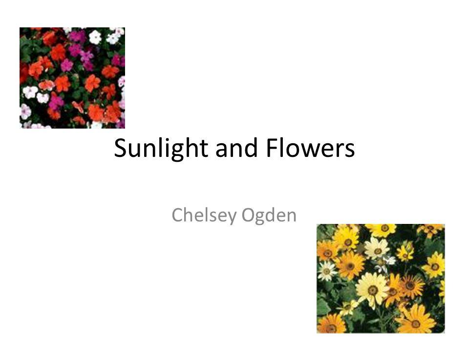Sunlight and Flowers Chelsey Ogden