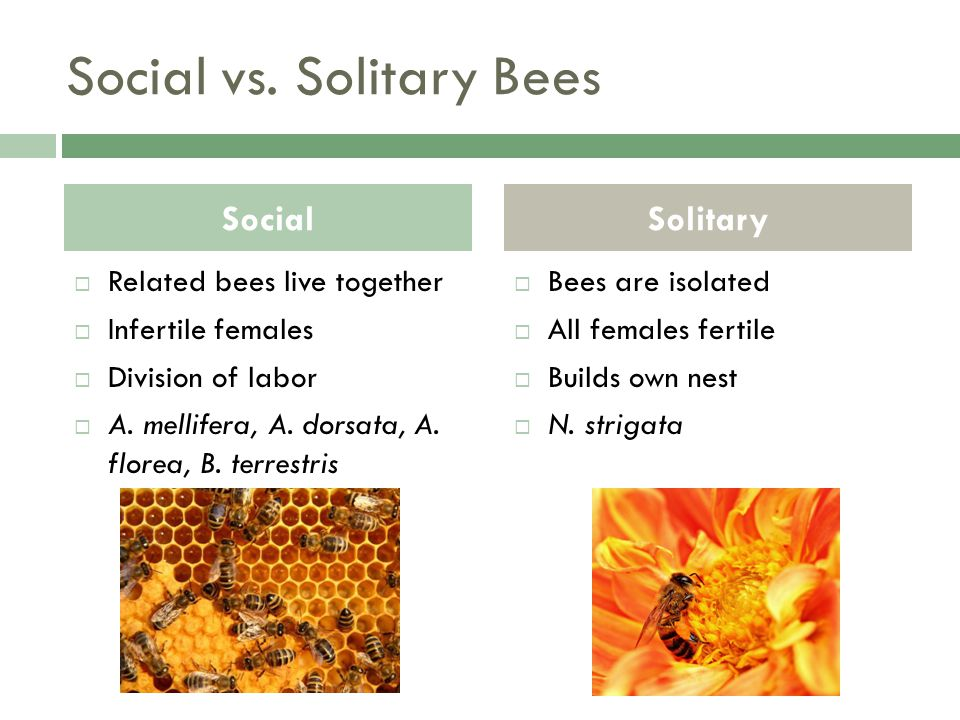 Social vs. Solitary Bees Related bees live together Infertile females Division of labor A.