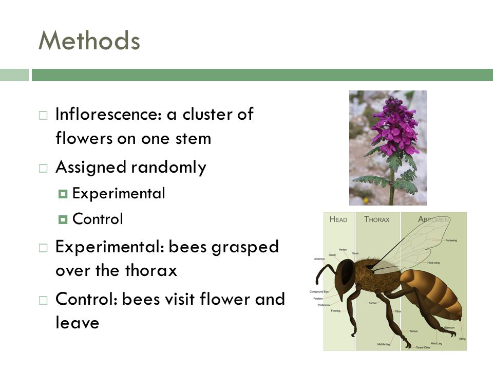 Methods Inflorescence: a cluster of flowers on one stem Assigned randomly Experimental Control Experimental: bees grasped over the thorax Control: bees visit flower and leave