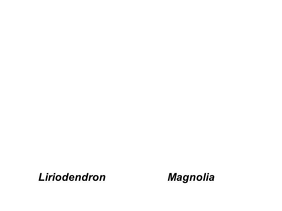 MagnoliaLiriodendron