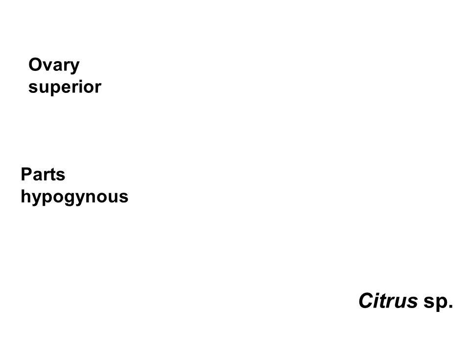 Ovary superior Citrus sp. Parts hypogynous