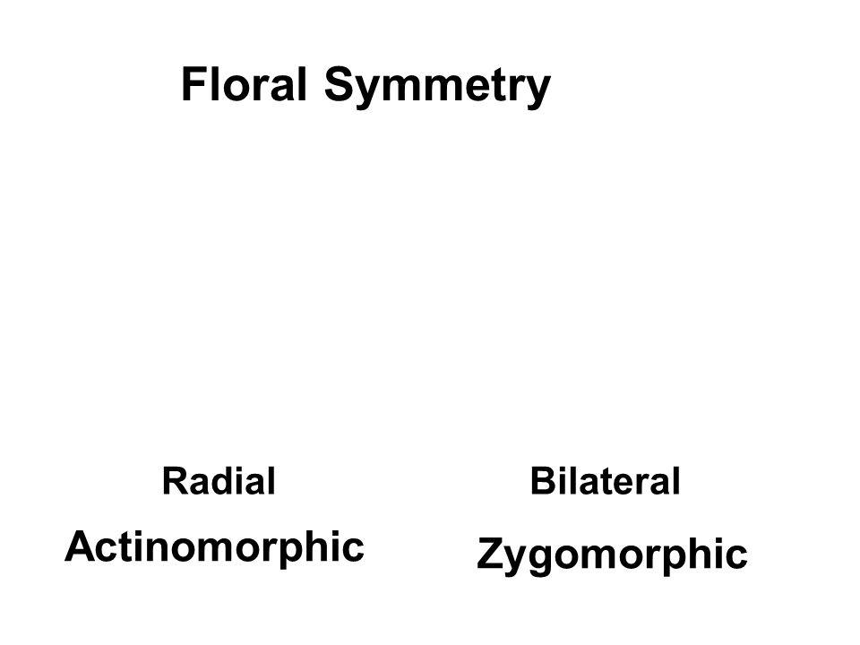 Floral Symmetry RadialBilateral Zygomorphic Actinomorphic