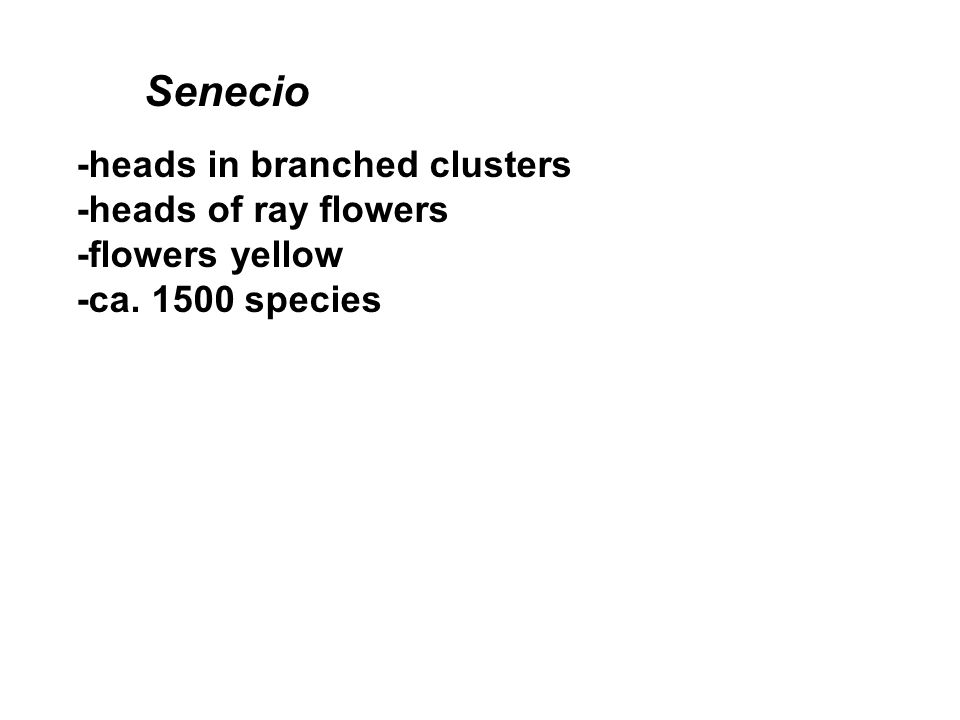 -heads in branched clusters -heads of ray flowers -flowers yellow -ca. 1500 species Senecio