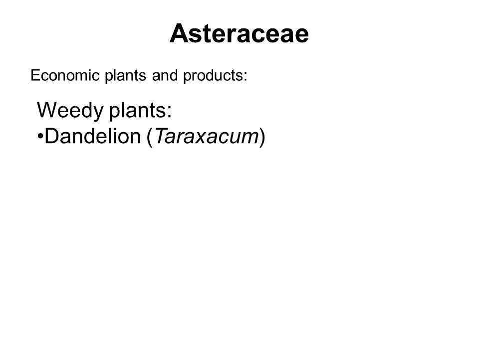Asteraceae Economic plants and products: Weedy plants: Dandelion (Taraxacum)