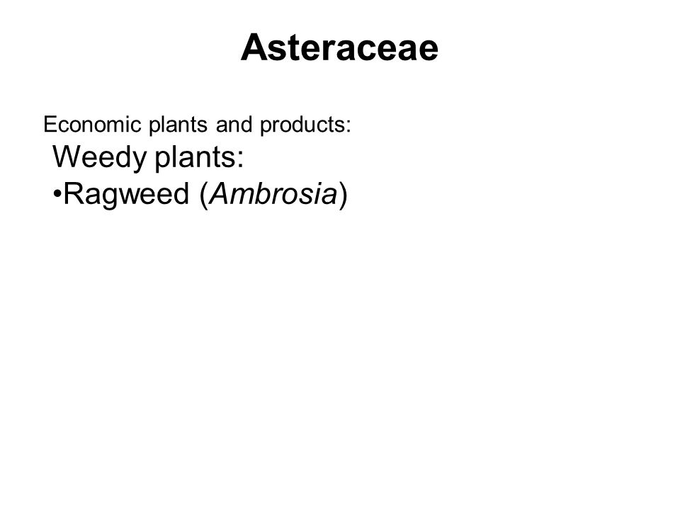 Asteraceae Economic plants and products: Weedy plants: Ragweed (Ambrosia)