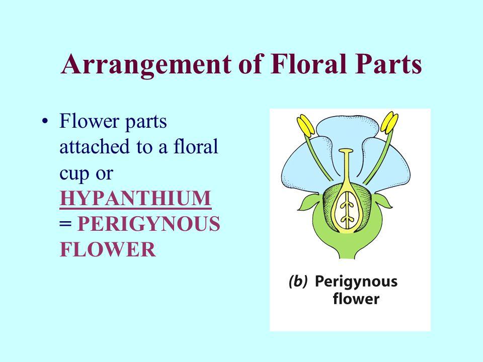 Arrangement of Floral Parts Flower parts attached to a floral cup or HYPANTHIUM = PERIGYNOUS FLOWER