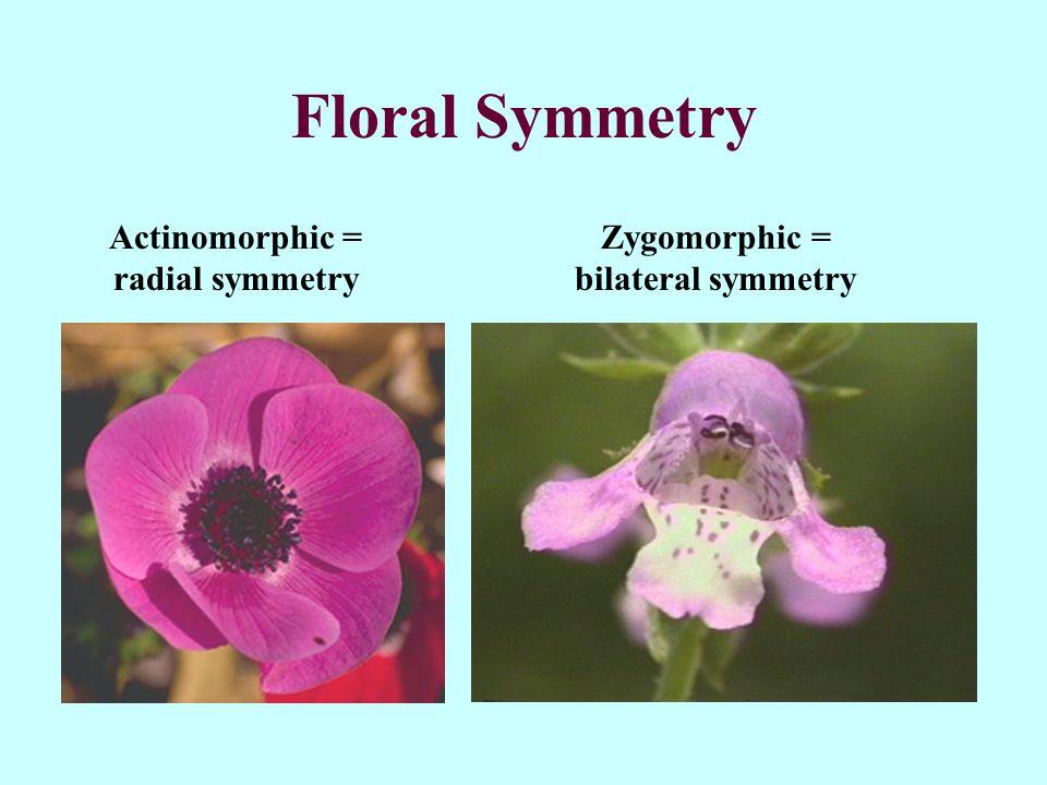 Floral Symmetry Actinomorphic = radial symmetry Zygomorphic = bilateral symmetry