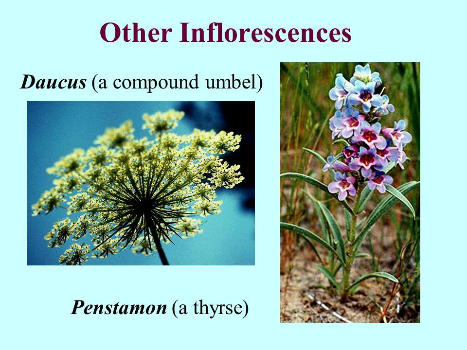 Other Inflorescences Penstamon (a thyrse) Daucus (a compound umbel)