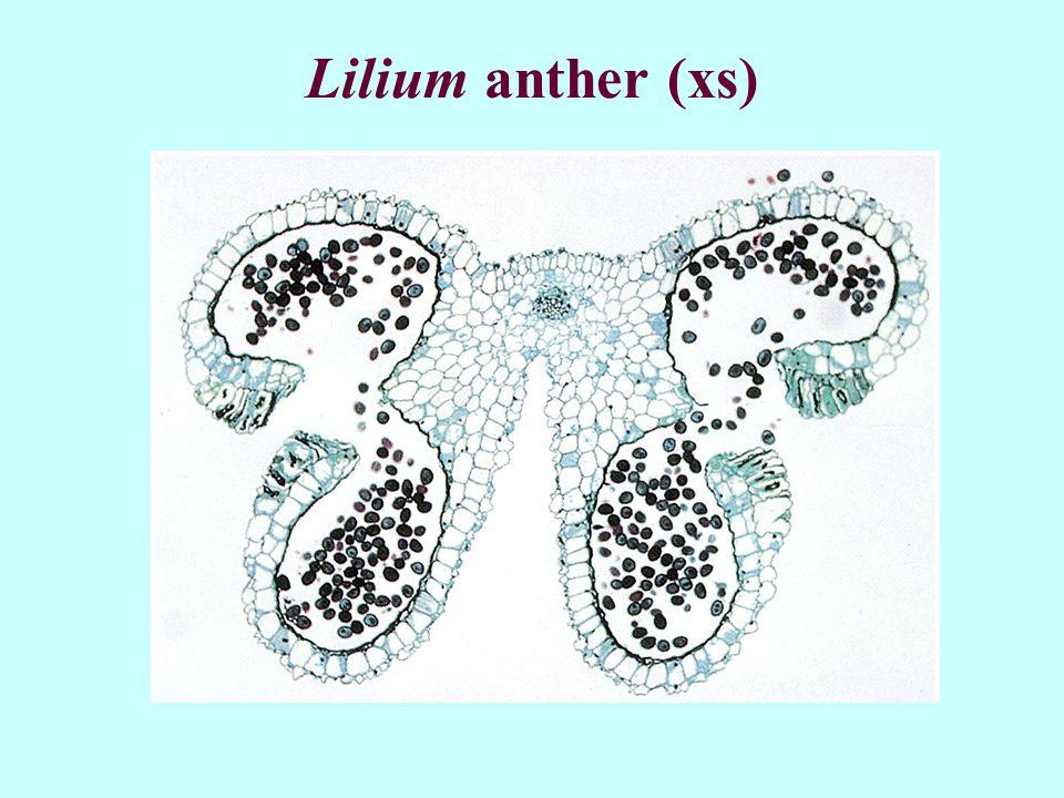 Lilium anther (xs)