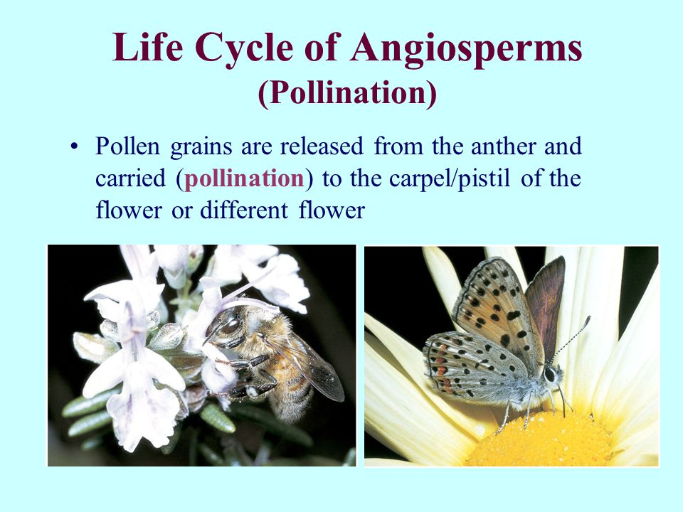 Life Cycle of Angiosperms (Pollination) Pollen grains are released from the anther and carried (pollination) to the carpel/pistil of the flower or different flower