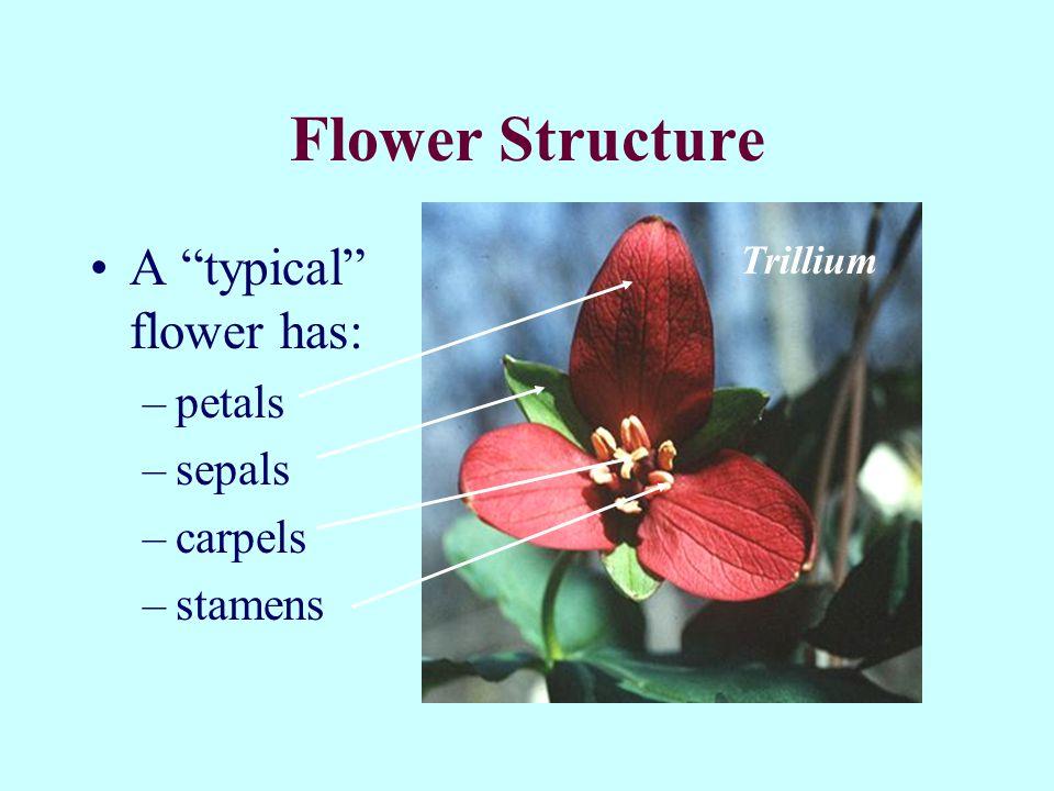 Flower Structure A typical flower has: –petals –sepals –carpels –stamens Trillium