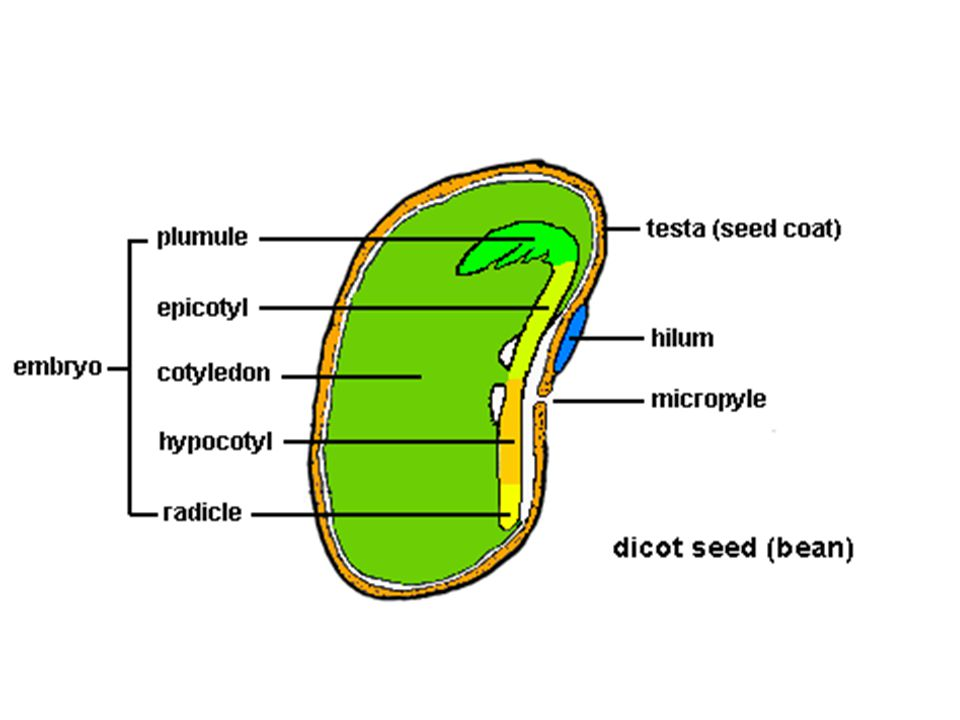 Seed Components A seed contains all of the genetic information needed to develop into an entire plant.
