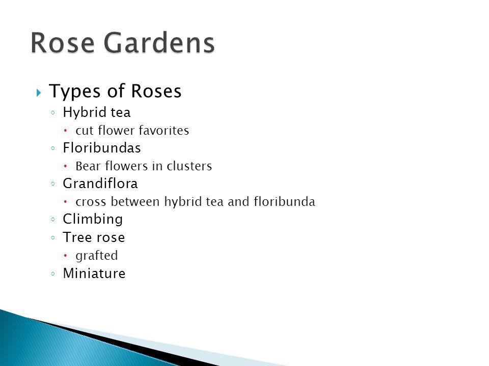 Types of Roses Hybrid tea cut flower favorites Floribundas Bear flowers in clusters Grandiflora cross between hybrid tea and floribunda Climbing Tree rose grafted Miniature