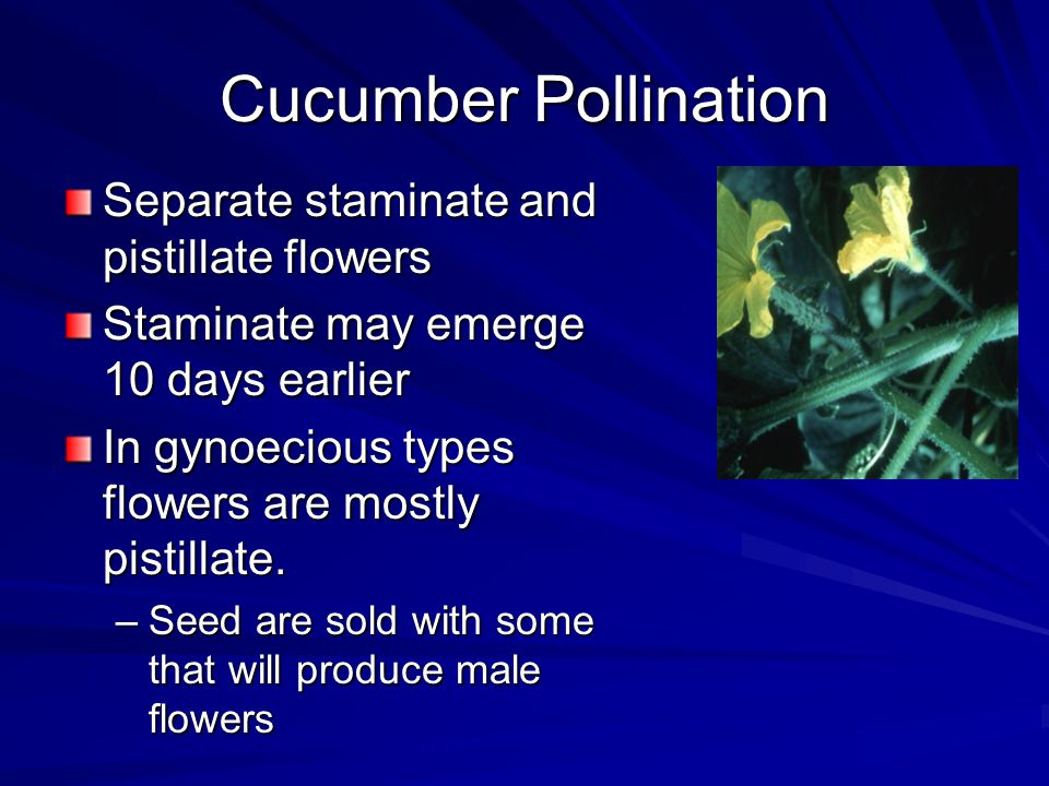 Cucumber Pollination Separate staminate and pistillate flowers Staminate may emerge 10 days earlier In gynoecious types flowers are mostly pistillate.