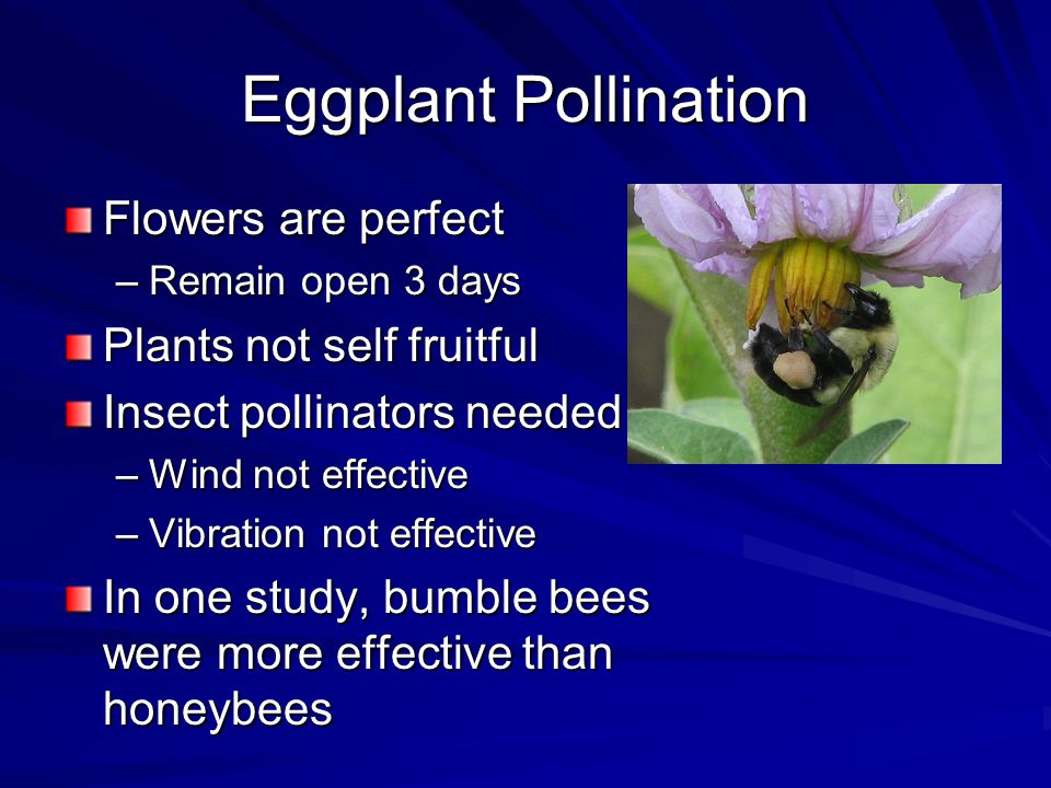 Eggplant Pollination Flowers are perfect –Remain open 3 days Plants not self fruitful Insect pollinators needed –Wind not effective –Vibration not effective In one study, bumble bees were more effective than honeybees