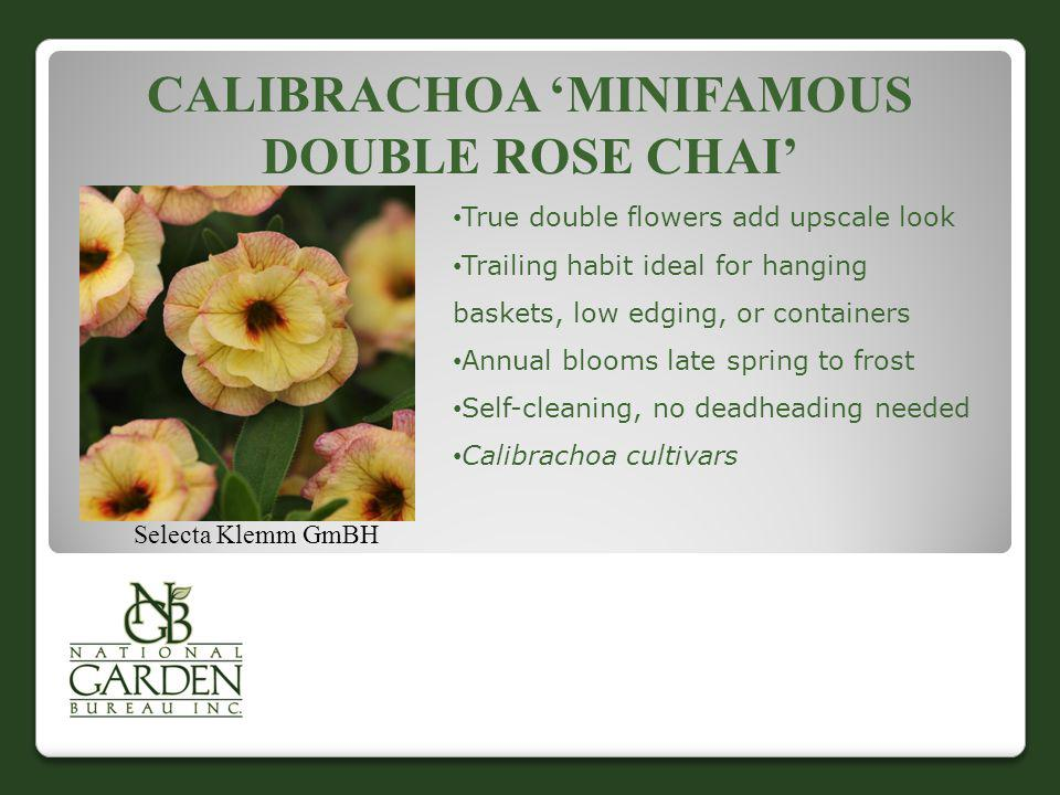 CALIBRACHOA MINIFAMOUS DOUBLE ROSE CHAI Selecta Klemm GmBH True double flowers add upscale look Trailing habit ideal for hanging baskets, low edging,