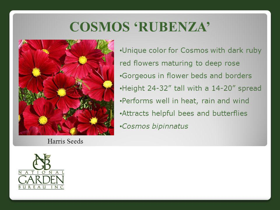 COSMOS RUBENZA Harris Seeds Unique color for Cosmos with dark ruby red flowers maturing to deep rose Gorgeous in flower beds and borders Height 24-32