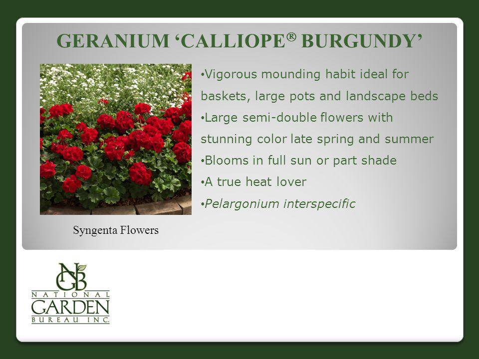 GERANIUM CALLIOPE BURGUNDY Syngenta Flowers Vigorous mounding habit ideal for baskets, large pots and landscape beds Large semi-double flowers with st