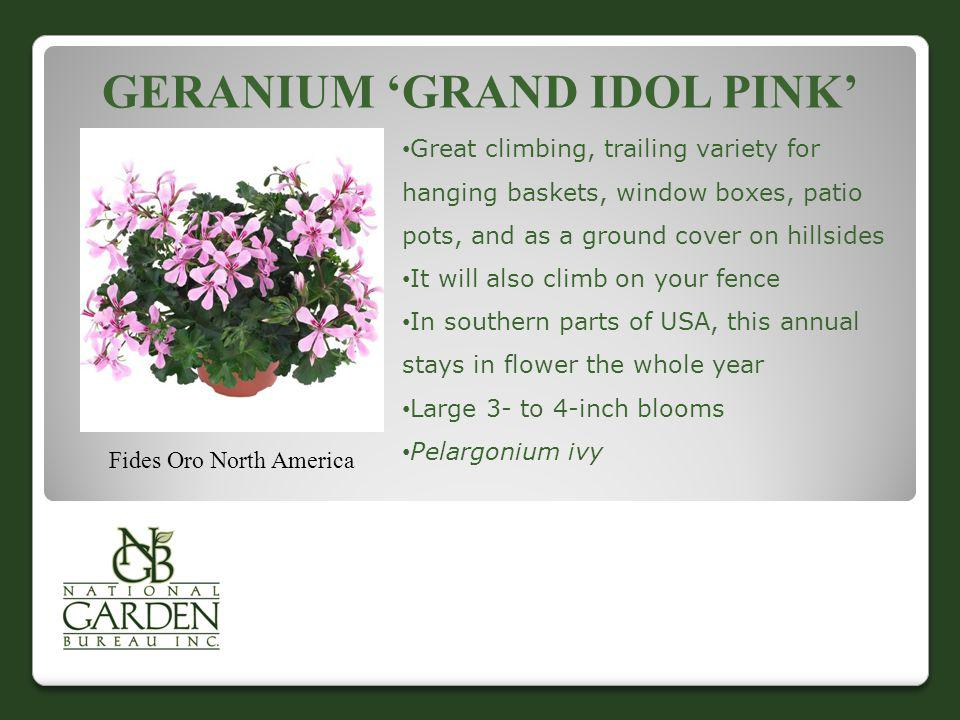 GERANIUM GRAND IDOL PINK Fides Oro North America Great climbing, trailing variety for hanging baskets, window boxes, patio pots, and as a ground cover