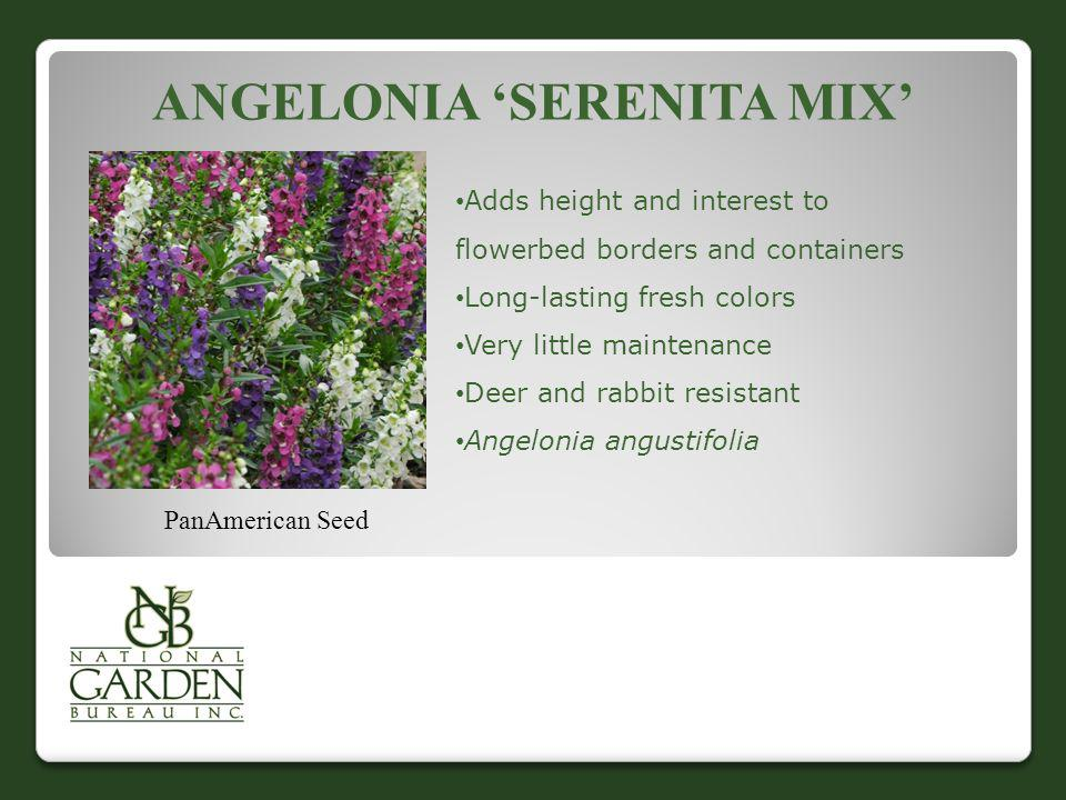 ANGELONIA SERENITA MIX PanAmerican Seed Adds height and interest to flowerbed borders and containers Long-lasting fresh colors Very little maintenance
