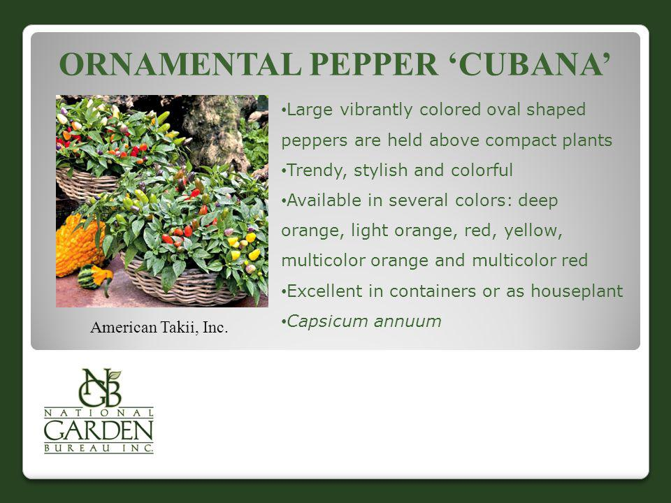 ORNAMENTAL PEPPER CUBANA American Takii, Inc. Large vibrantly colored oval shaped peppers are held above compact plants Trendy, stylish and colorful A
