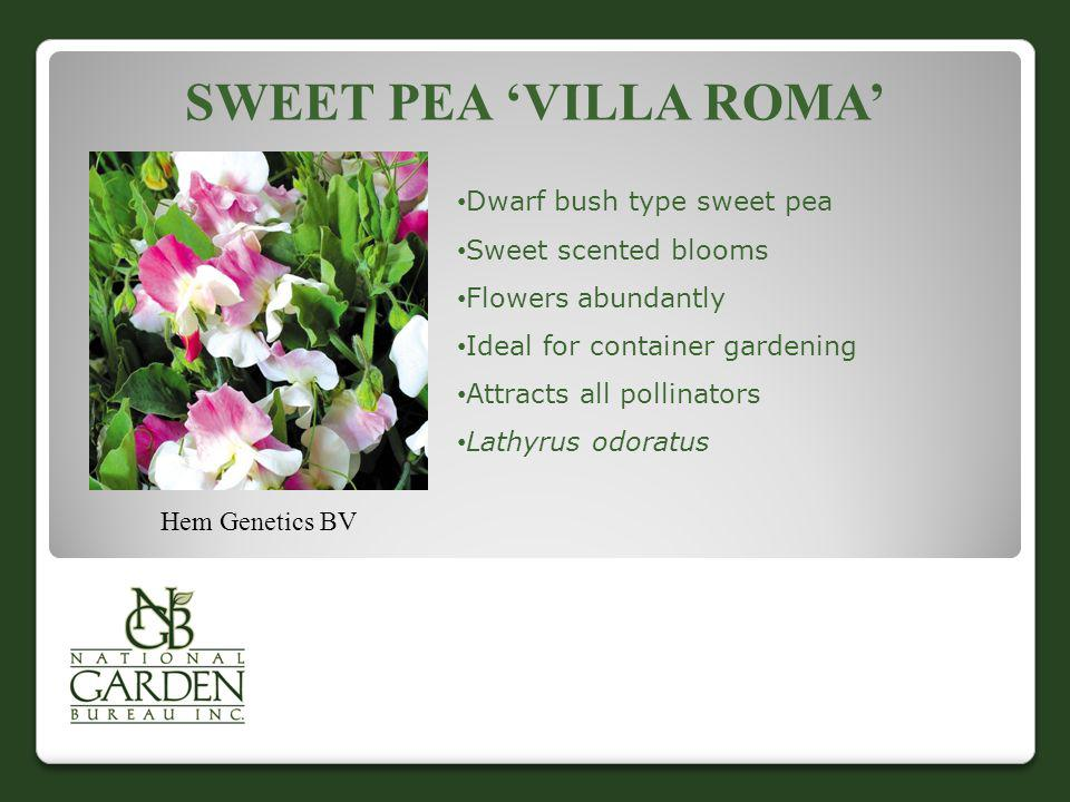 SWEET PEA VILLA ROMA Hem Genetics BV Dwarf bush type sweet pea Sweet scented blooms Flowers abundantly Ideal for container gardening Attracts all poll