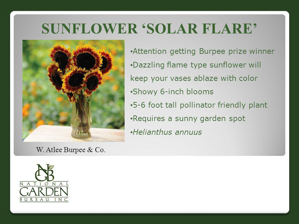 SUNFLOWER SOLAR FLARE W. Atlee Burpee & Co. Attention getting Burpee prize winner Dazzling flame type sunflower will keep your vases ablaze with color